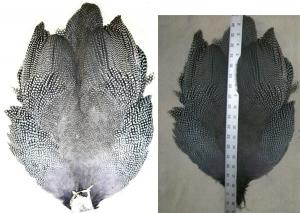 Jumbo Guinea Skins - Product Image
